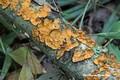 Crust Fungi